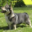 Zweedse Vallhund (Vastgotaspets)