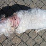 Je hond optillen in gevaarlijke situaties