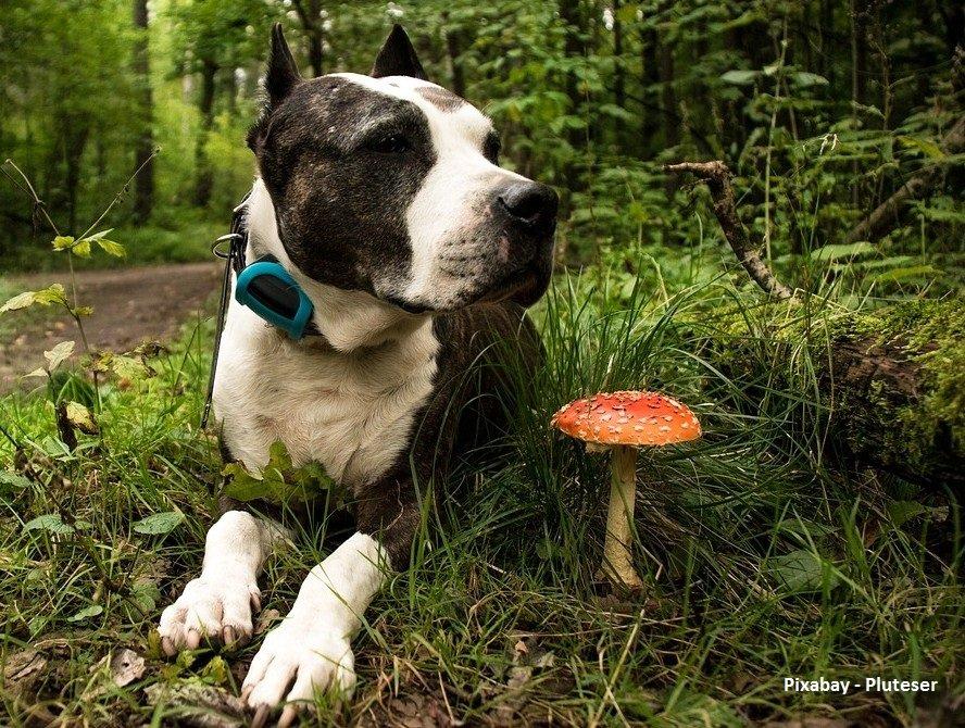 Paddenstoelen die giftig zijn voor je hond