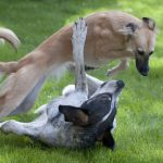 Zijn windhonden anders dan andere hondenrassen