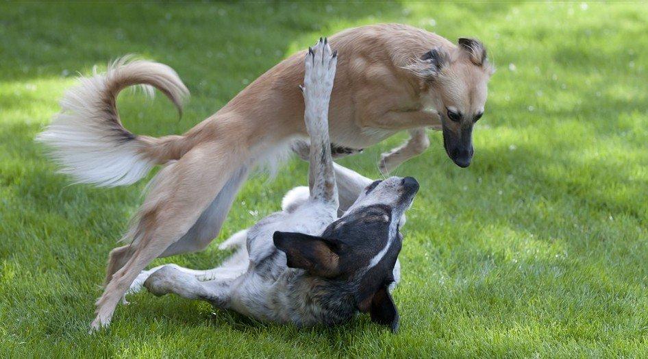 windhond - Hondenrassen voor een appartement