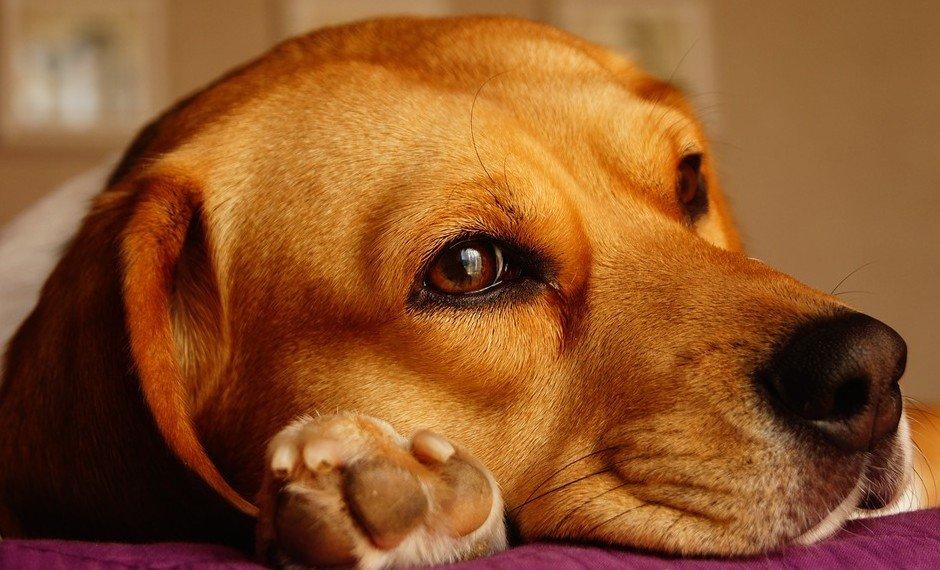 Meest geschikte gezinshonden is de Beagle