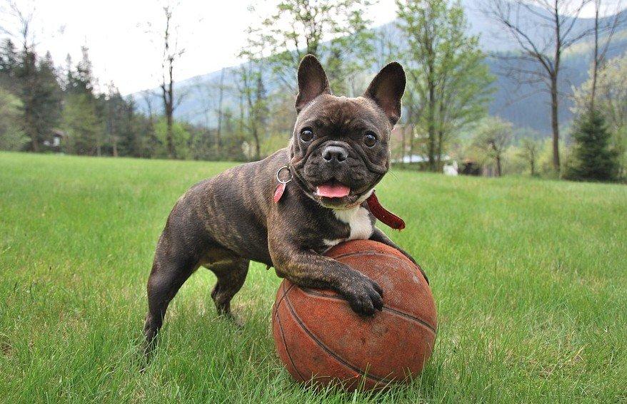 Meest geschikte gezinshond - Bulldog