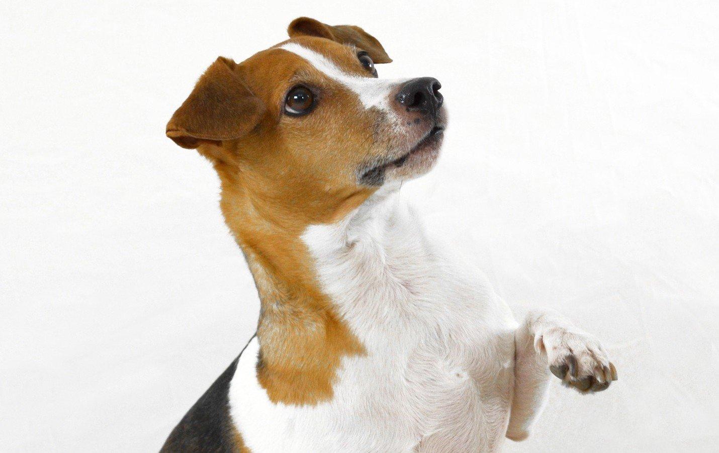 hond heft poot op lichaamstaal bij honden
