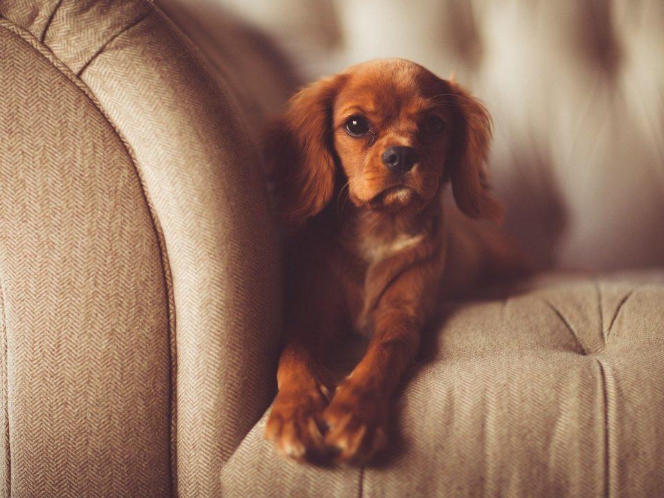 hond in de zetel foto pixabay