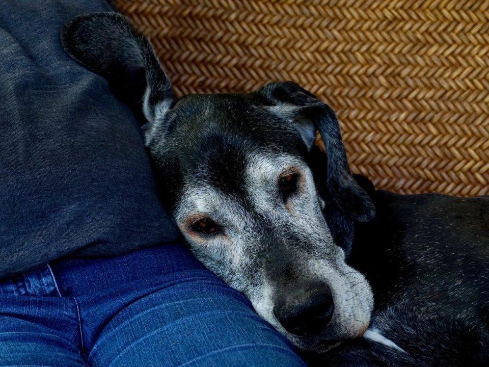 Ouderdomsklachten en hoe zorg je voor een oudere hond foto pixabay