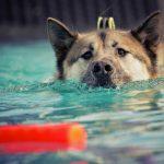 Waterintoxicatie of watervergiftiging bij honden