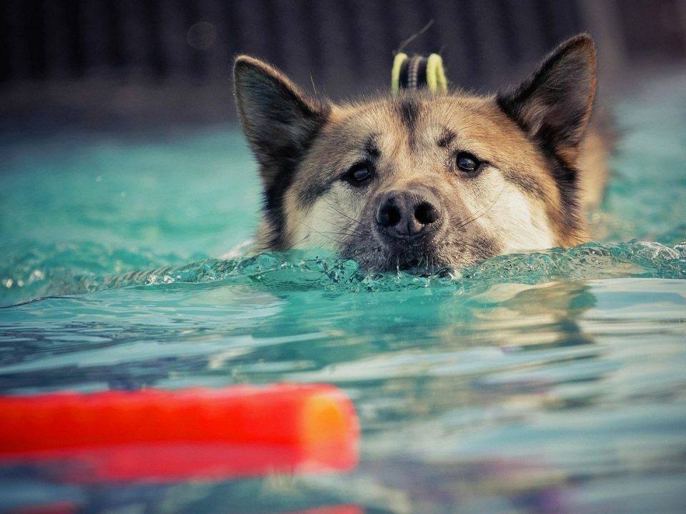 Waterintoxicatie of watervergiftiging bij honden foto pixabay