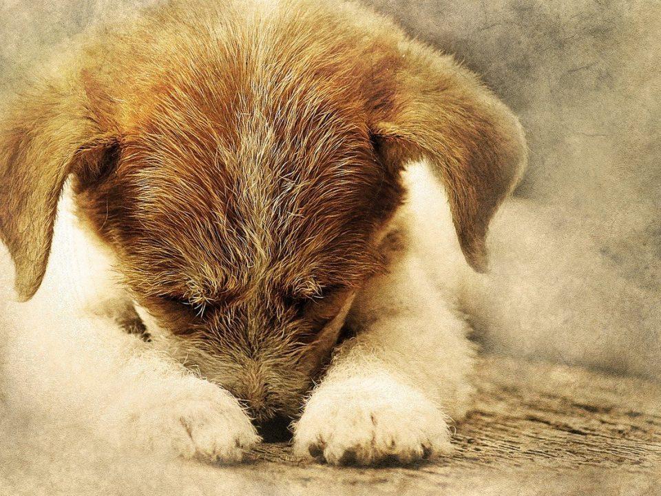 hond heeft pijn foto pixabay