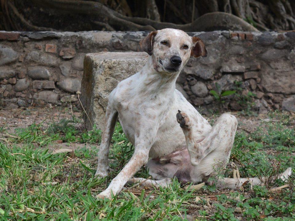 hond krapt van jeuk foto pixabay
