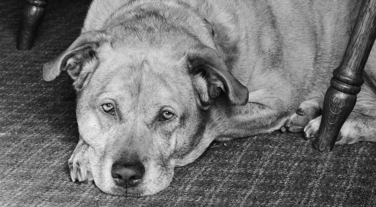 signalen van pijn bij een hond herkennen foto pixabay