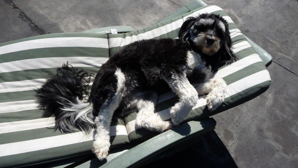 warm weer is gevaarlijk voor honden
