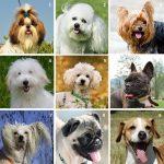 Kleinste hondenrassen met foto en rasfiche