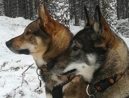 West-Siberische Laika fokkers