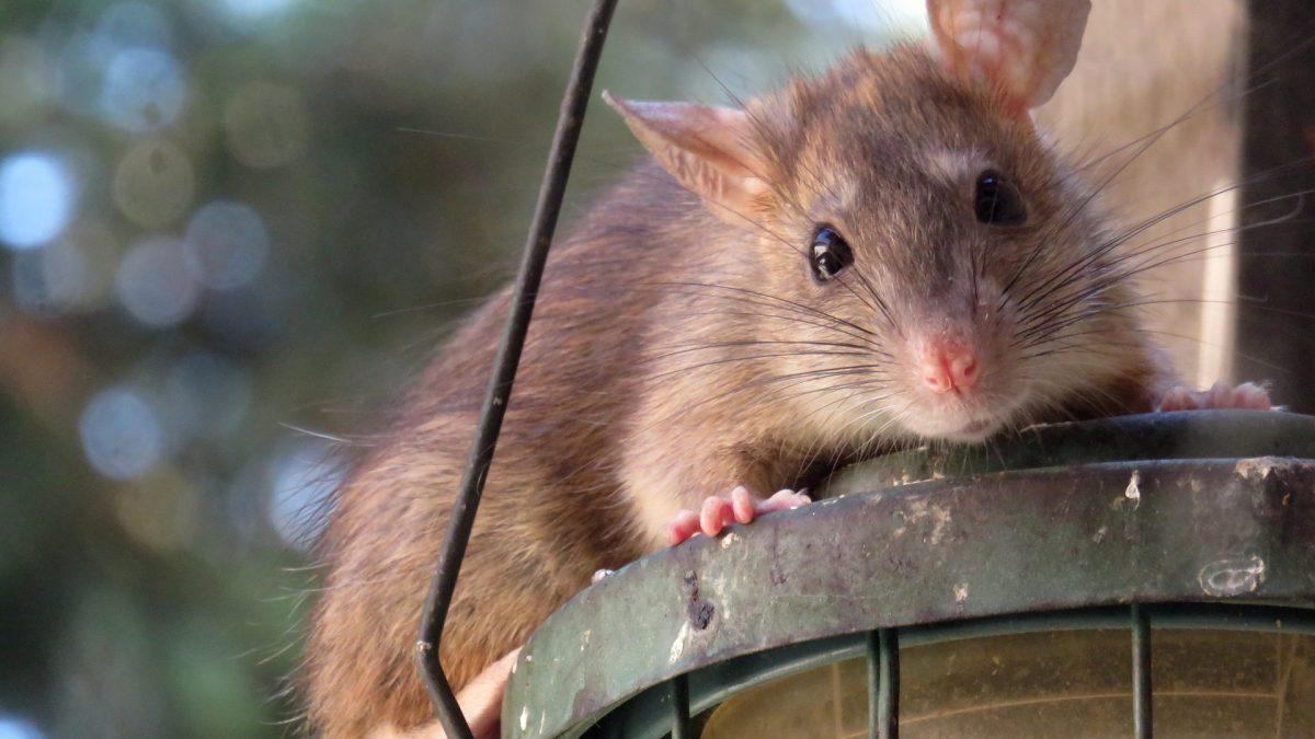 Ziekte van weil of rattenziekte