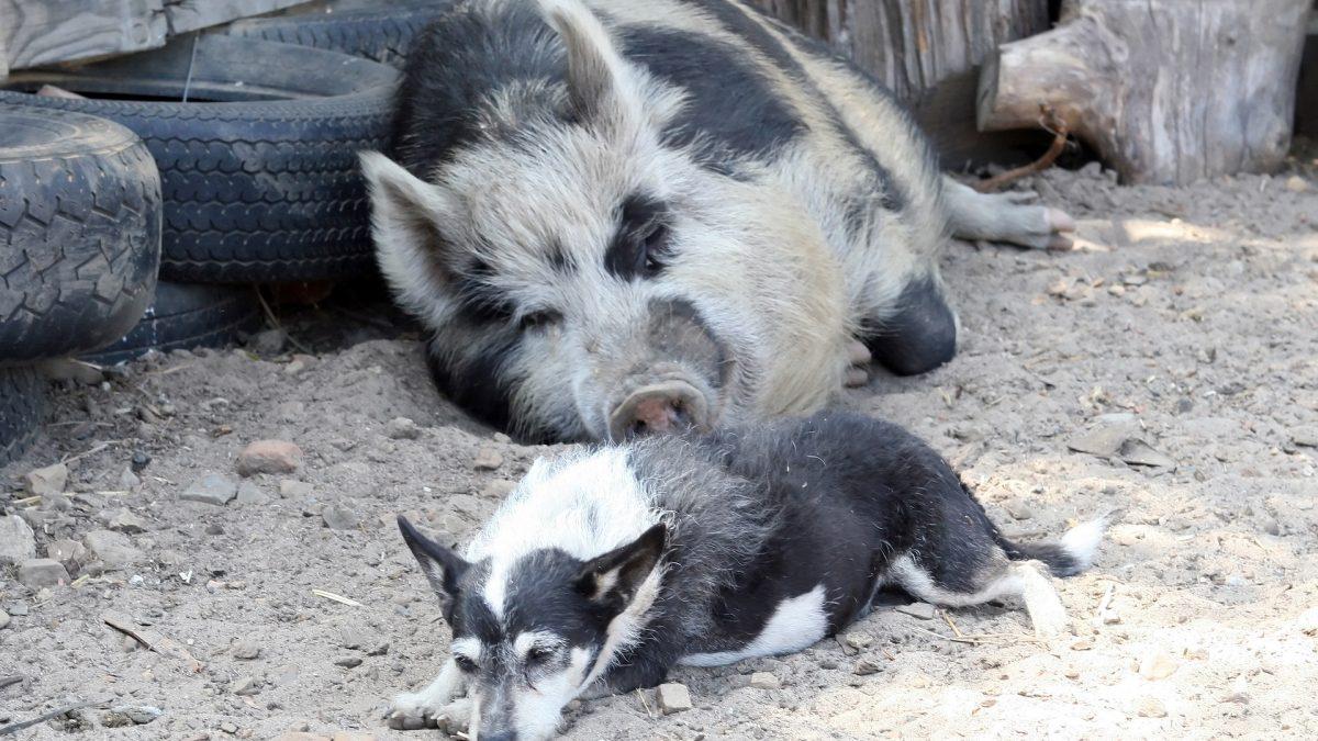 Rauw varkensvlees voor honden is taboe