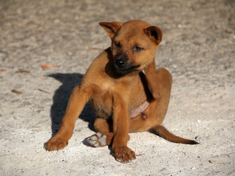 Vlooien bij honden herkennen en bestrijden - hond met vlooien