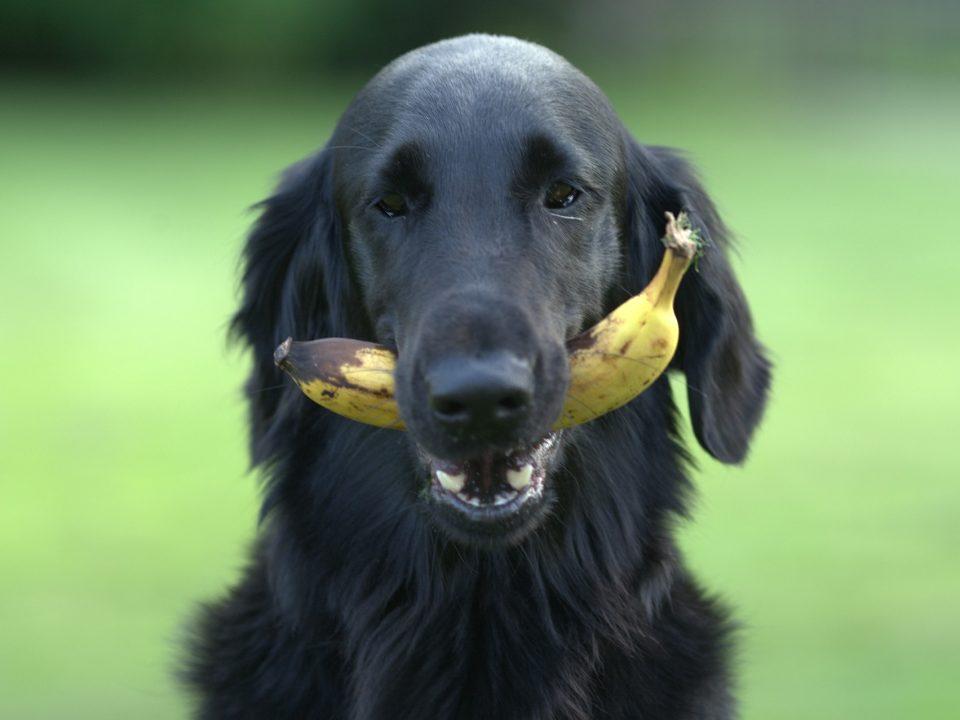 Welk fruit mag een hond eten, welk fruit niet - fruit hond