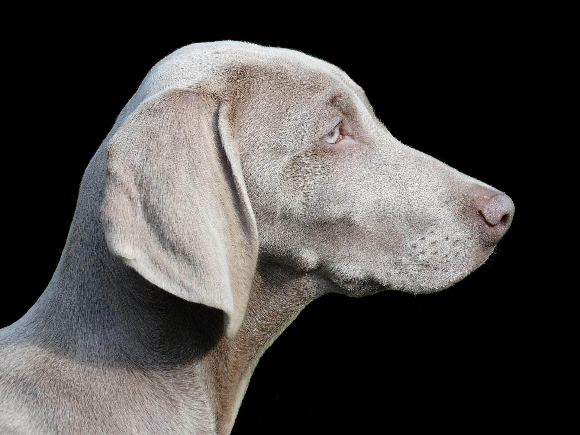 Weimaraner - grote honden