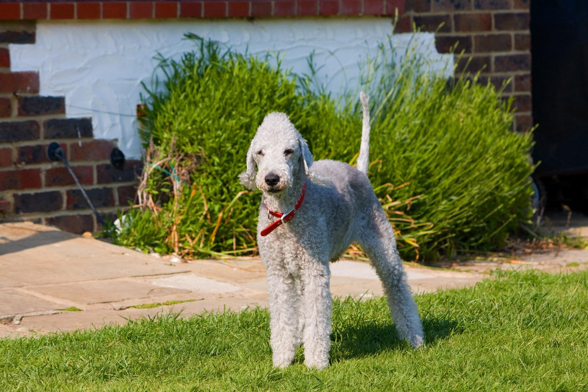 Witte hondenrassen - Bedlington Terrier