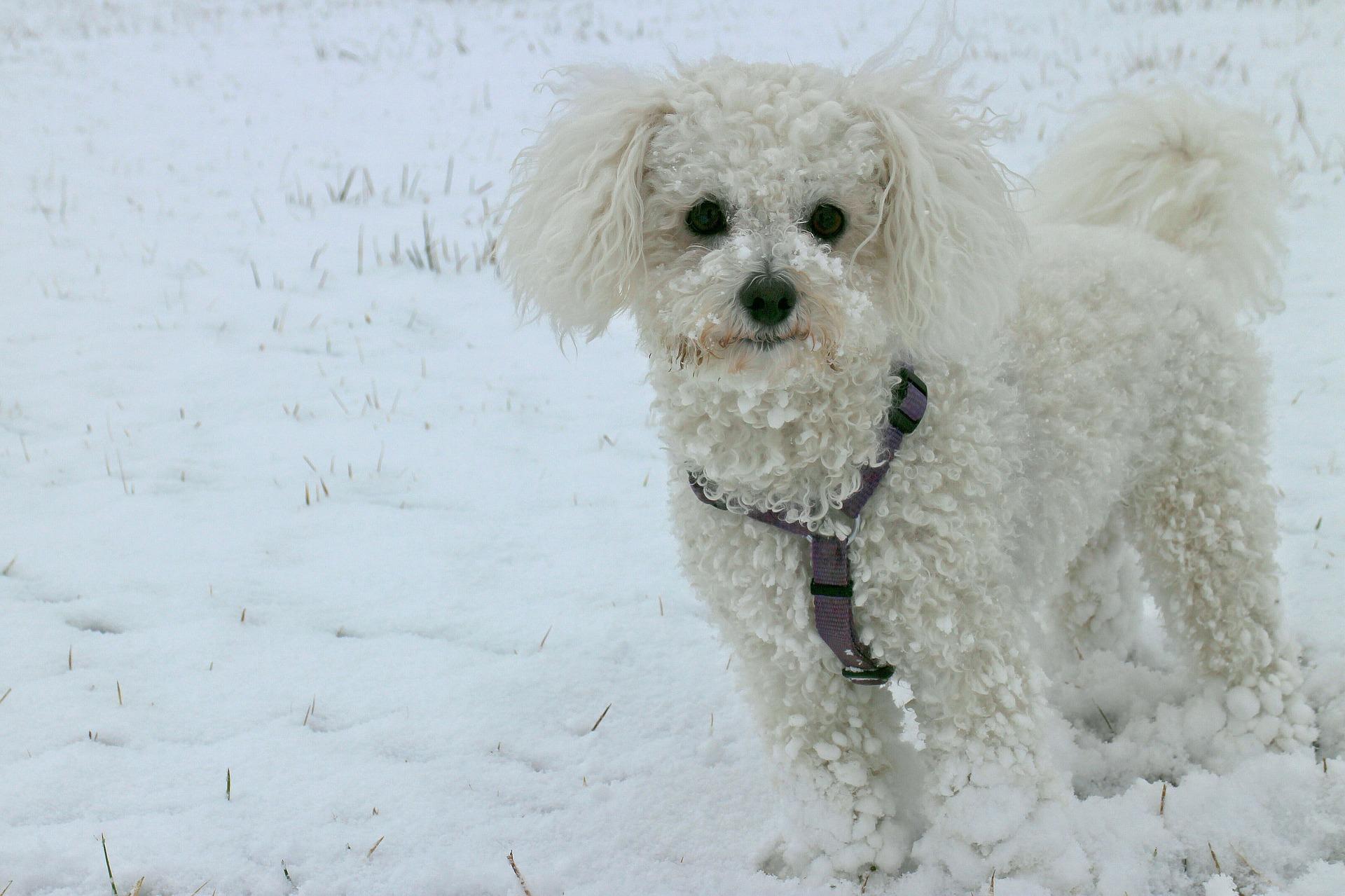 Witte hondenrassen -Bichon frise
