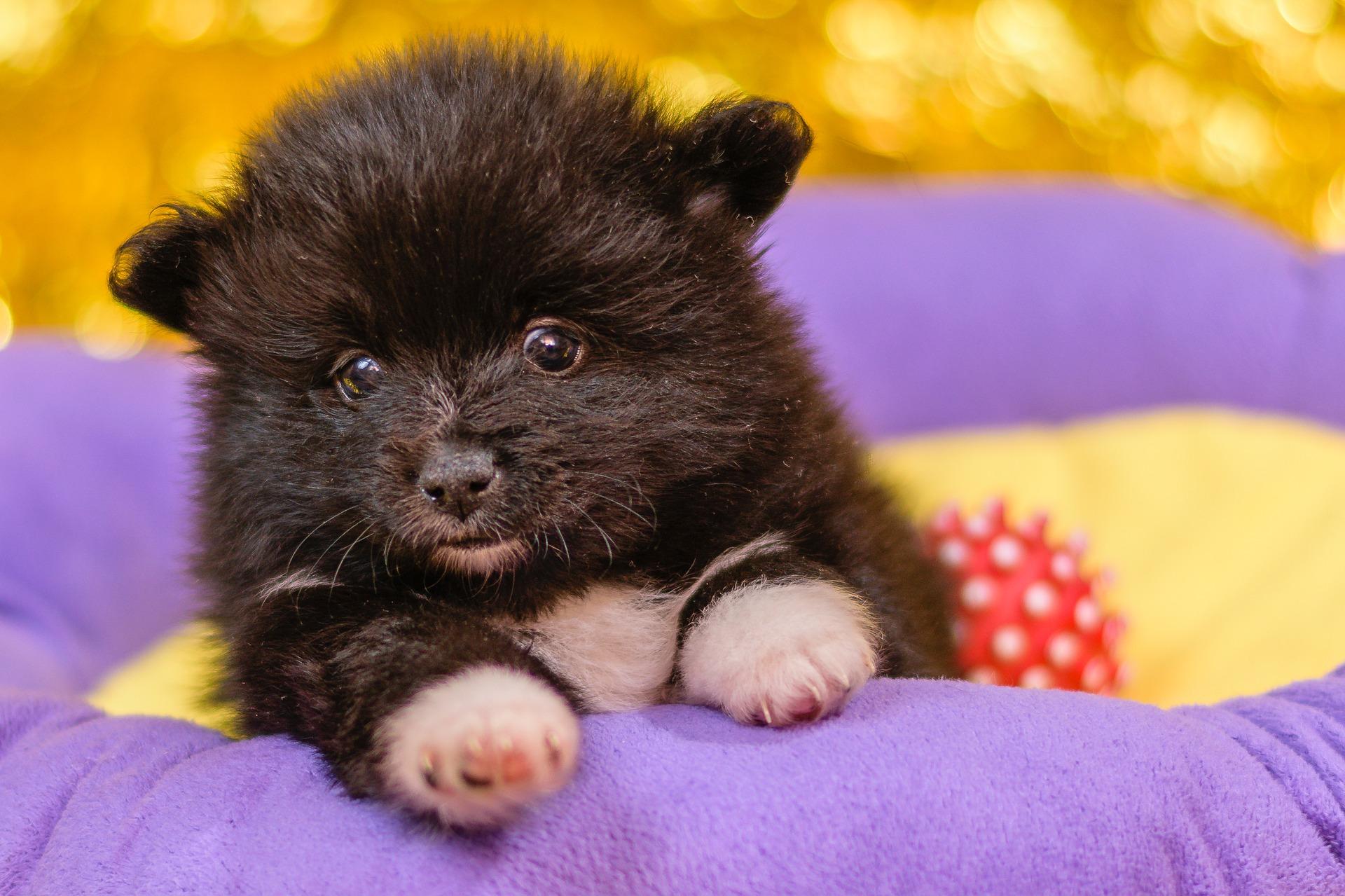 Keeshond - Pomeranian puppy info
