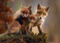 Vossenlintworm honden
