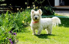 Witte hondenrassen - West highland white terrier