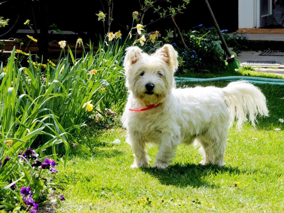 Witte hondenrassen - West highland white terrier
