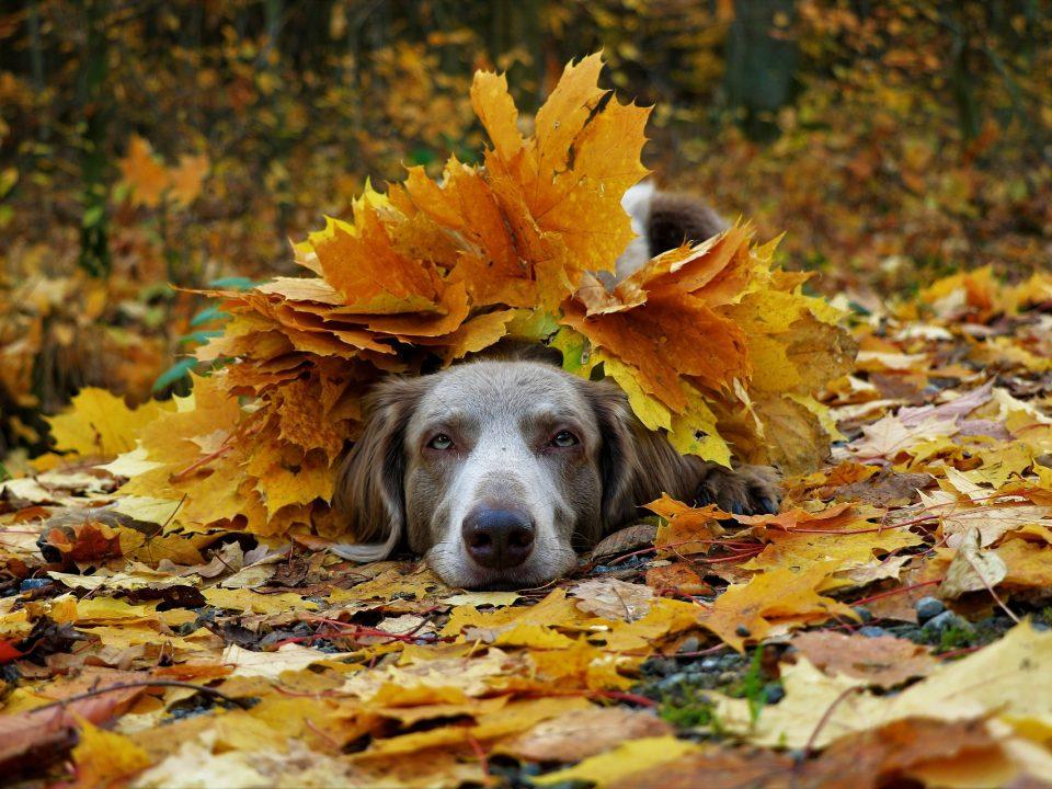 herfstbladeren gevaarlijk