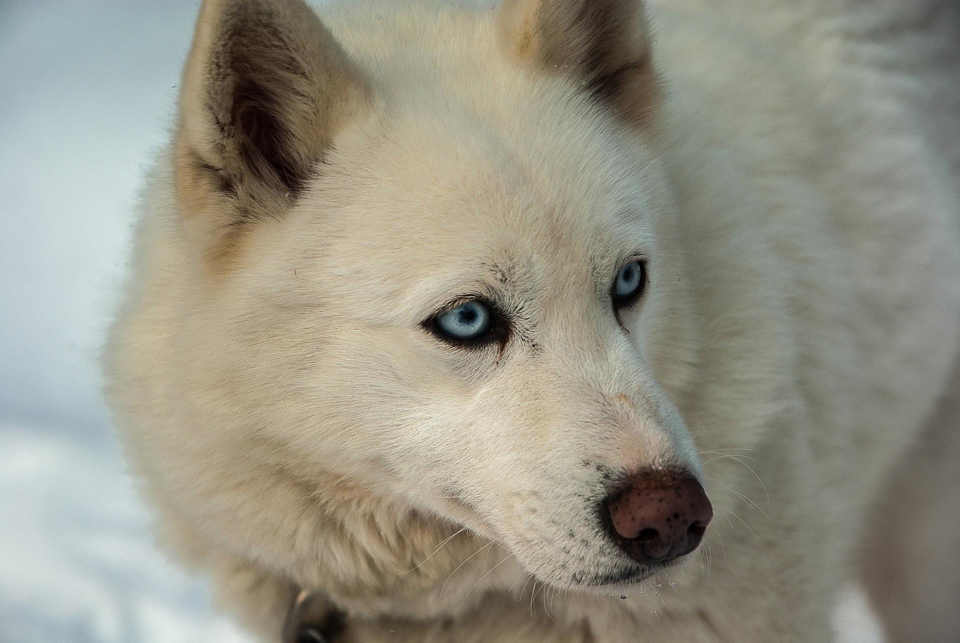 Witte hondenrassen - Husky