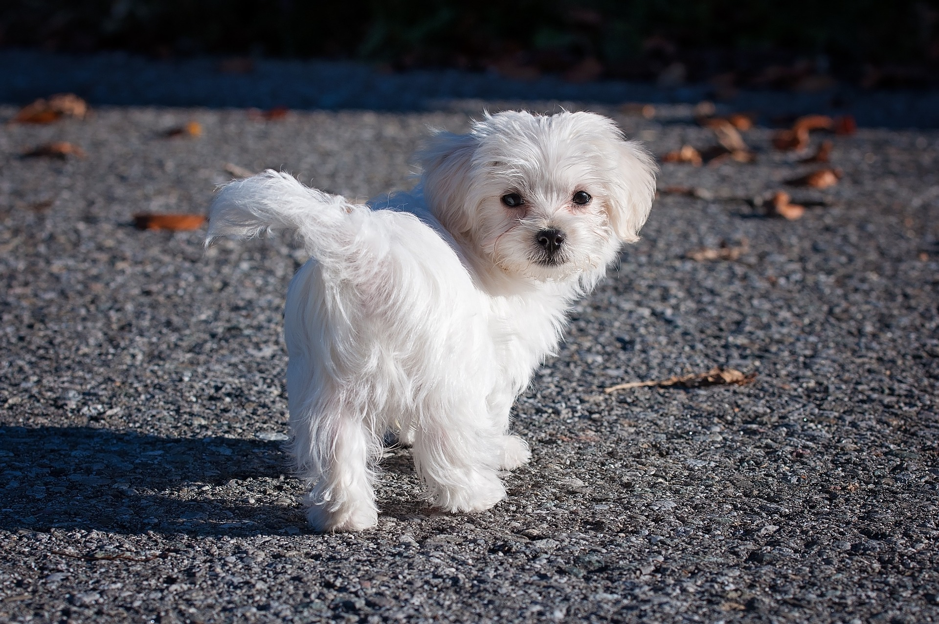 Wit hondenras - Malthezer