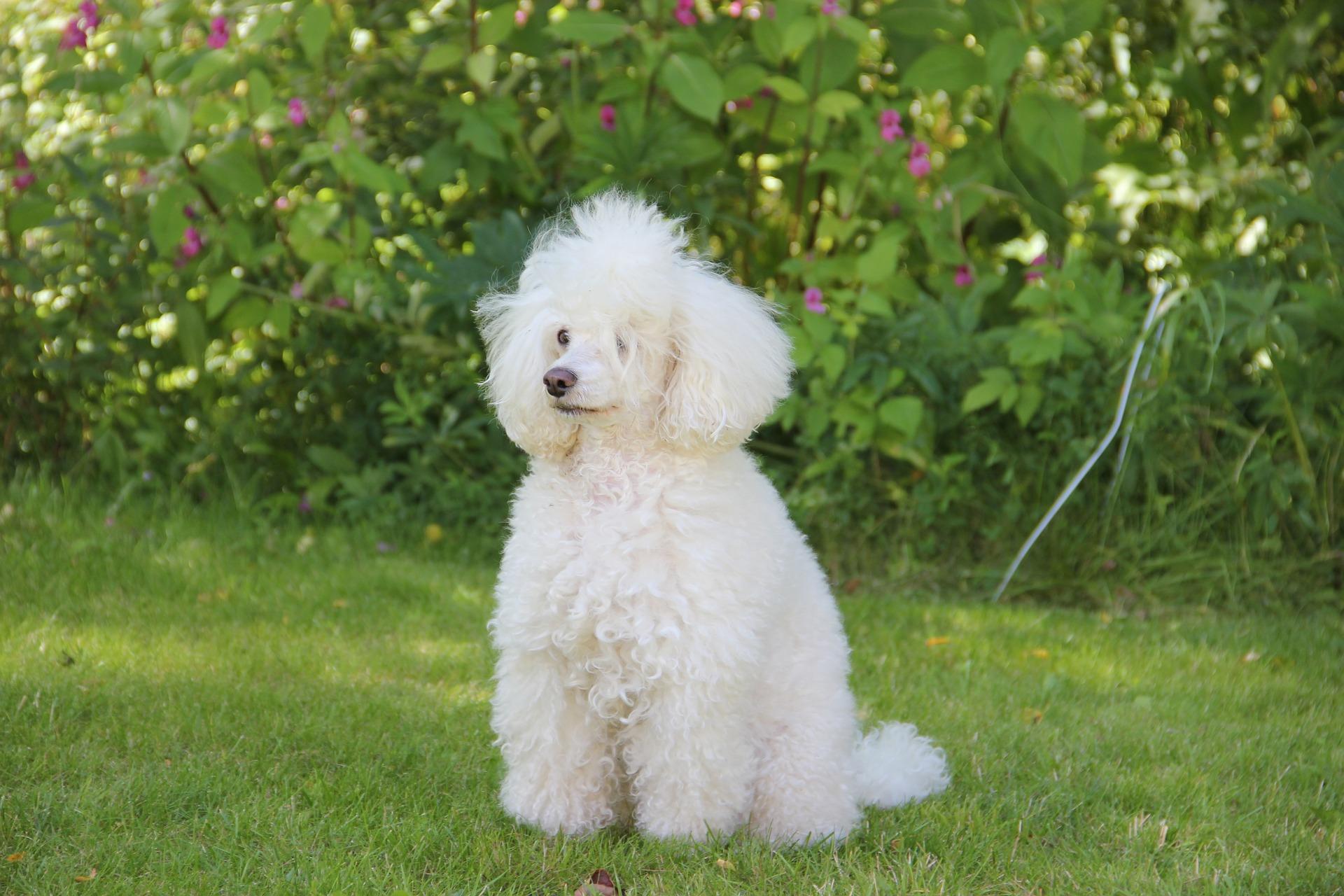 Wit hondenras - Poedel