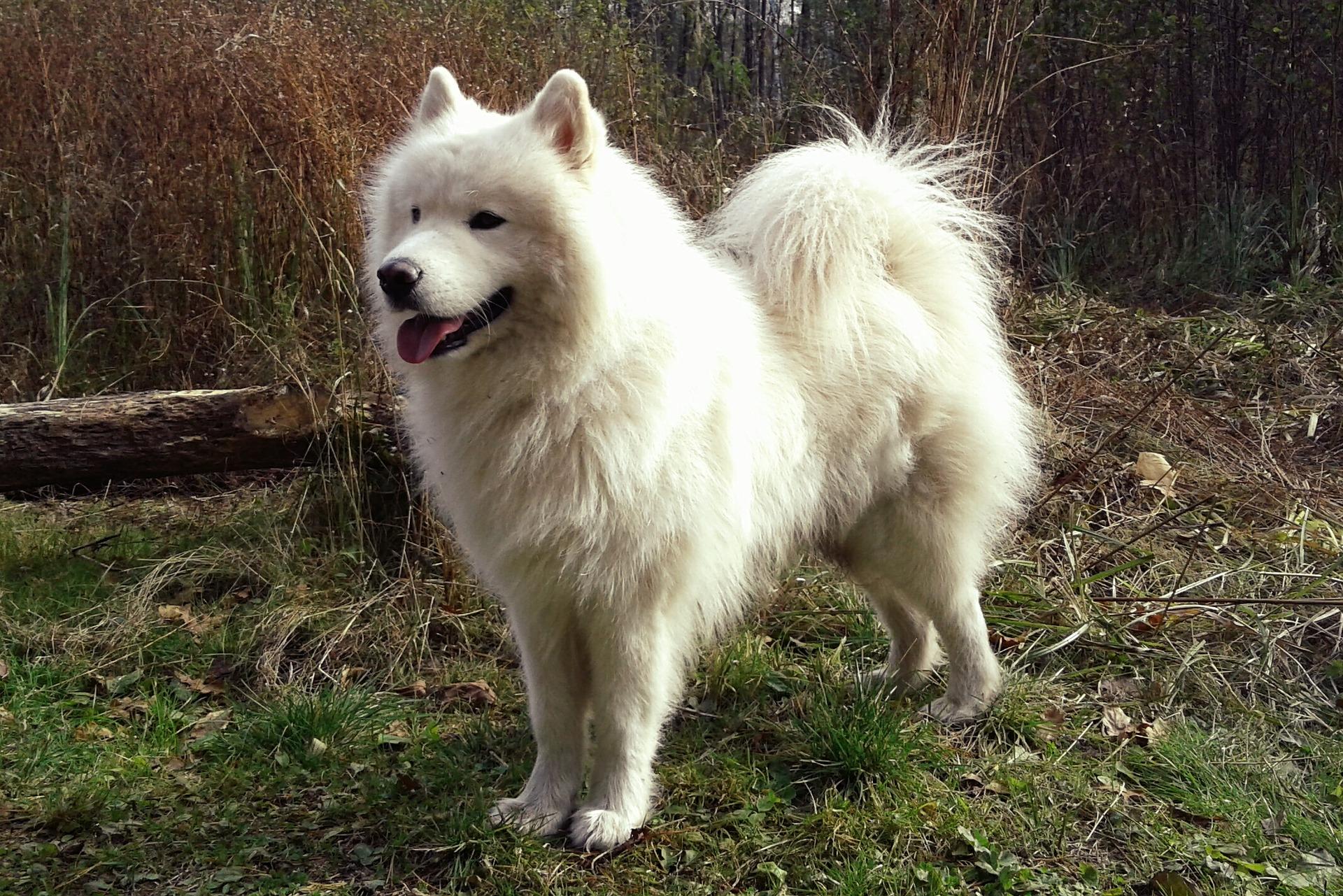 Witte hondenrassen - samoyed