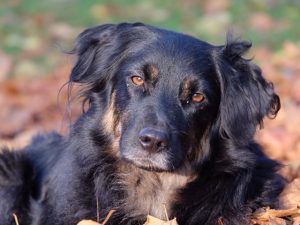 Australian shepherd Rescue Fund tess
