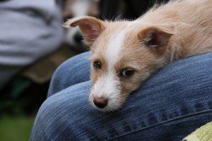 Podengo Portugues puppy - Podengo Portugues puppy