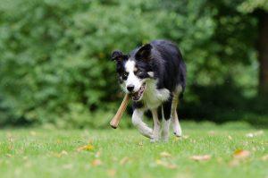 Rugklachten bij honden herkennen - Rugklachten bij honden herkennen 1