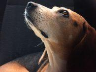 Rugklachten bij honden herkennen