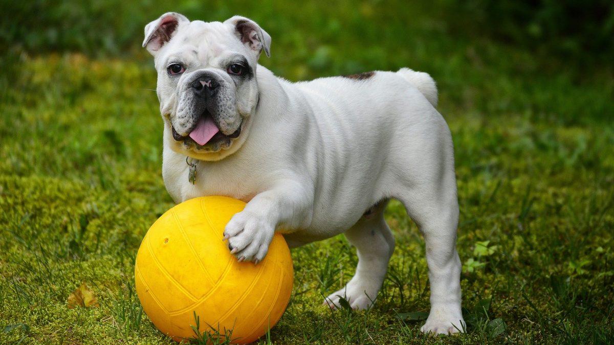 treibball hondensport