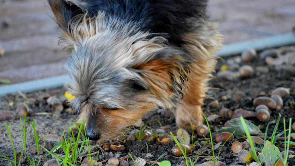 eikels zijn giftig voor honden
