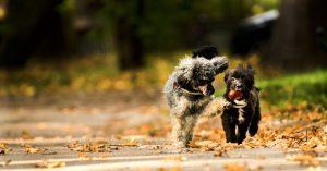 zijn kastanjes giftig voor honden