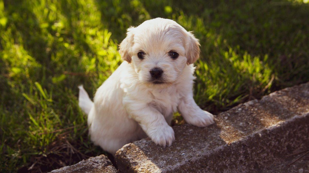 hond kopen puppy kopen