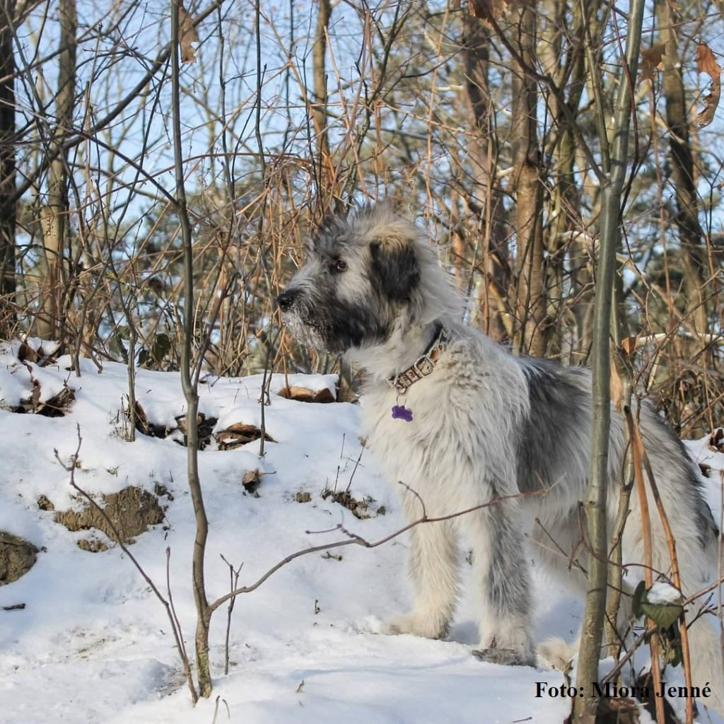 Roemeense Mioritic Herdershond puppy