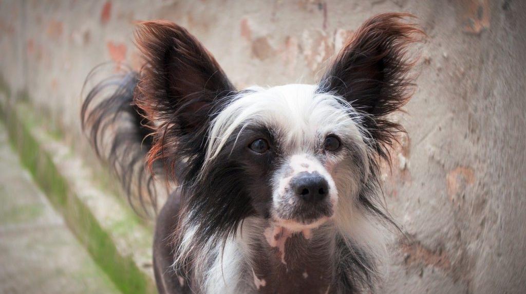 Chinese-Naakthond-kleinstehondenras
