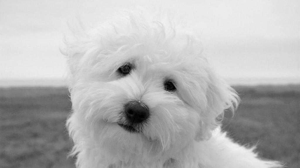 Coton de Tulear - kleinste hondenrassen