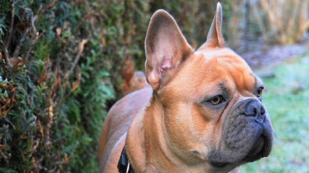 Franse Bulldog - kleinste hondenrassen