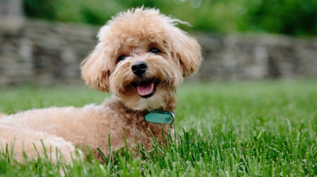 Toypoedel-kleinste-hondenrassen
