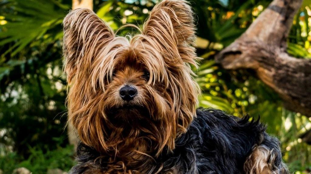 Yorkshire Terriër-kleinste-hondenrassen