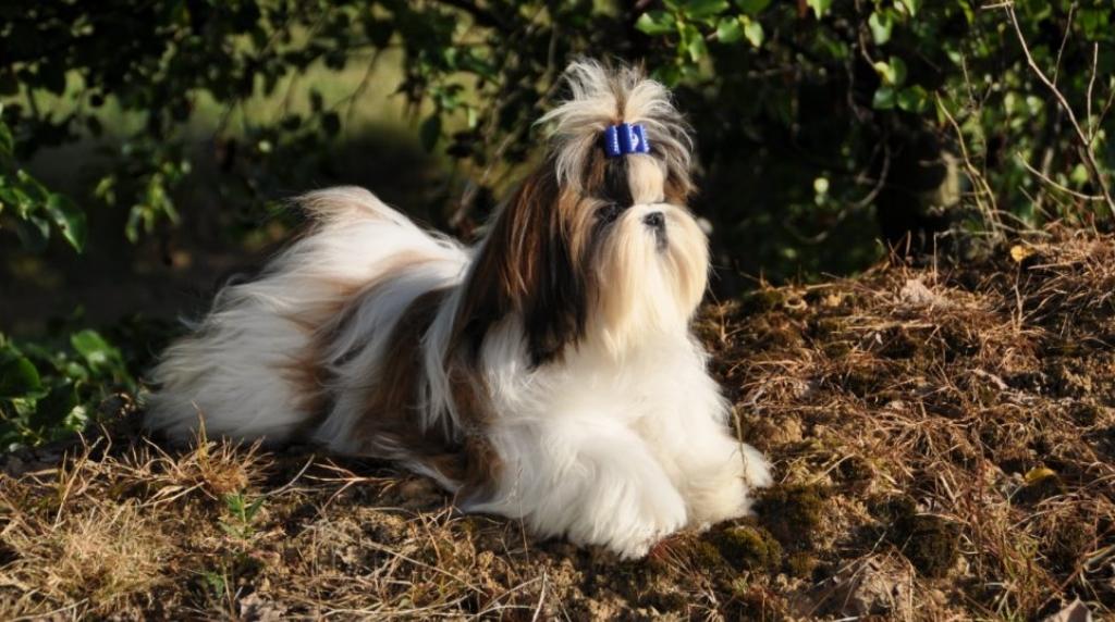 shih-tzu-kleinste-hondenrassen