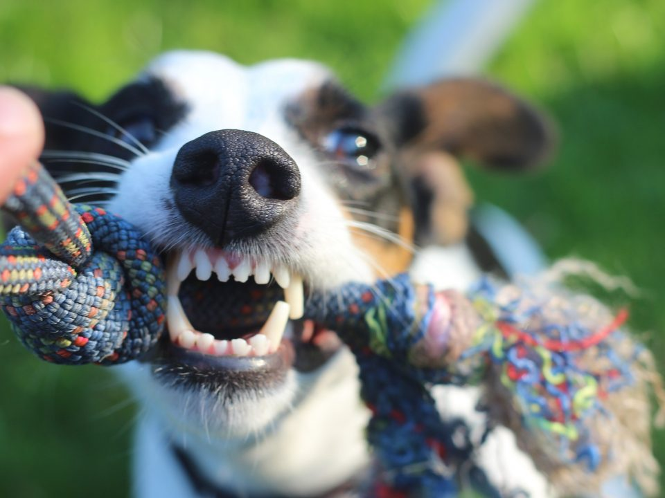 Hoe kun je de tanden van je hond verzorgen